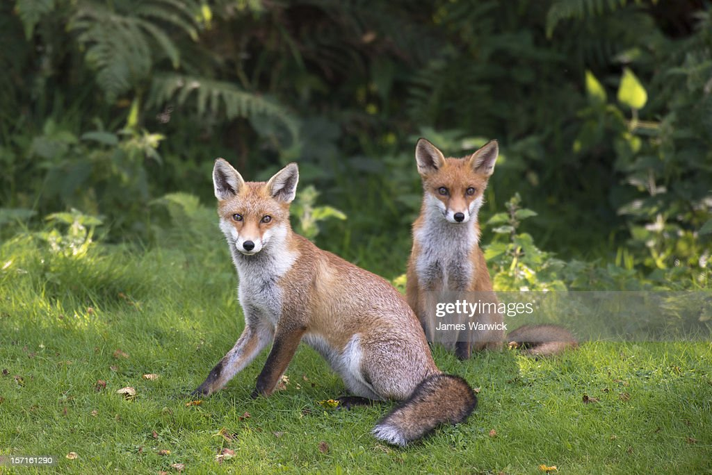 Red fox cubs at the edge of a forest : Stock Photo