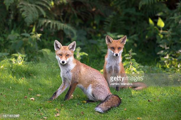 Red fox cubs at the edge of a forest