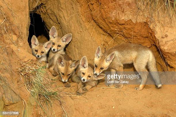 Red Fox (Vulpes vulpes) cubs play next to their den