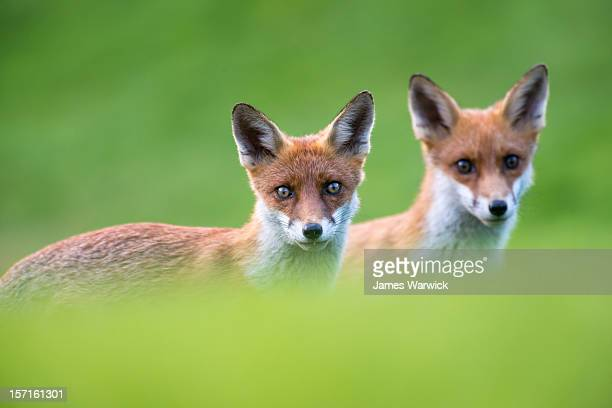 Red fox cubs portrait