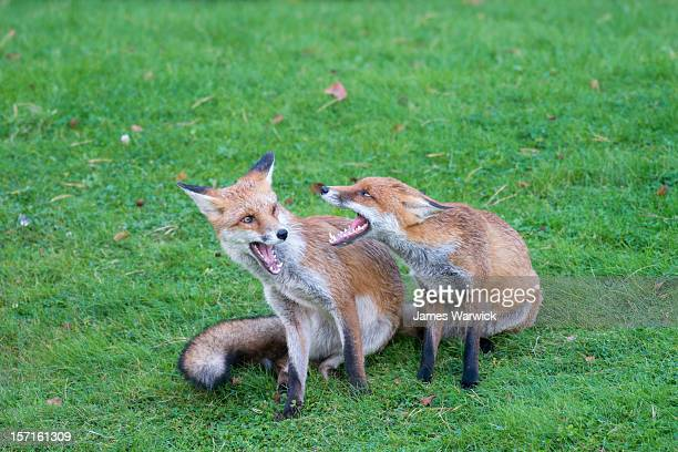 red fox cubsinteracting - red fox stock pictures, royalty-free photos & images