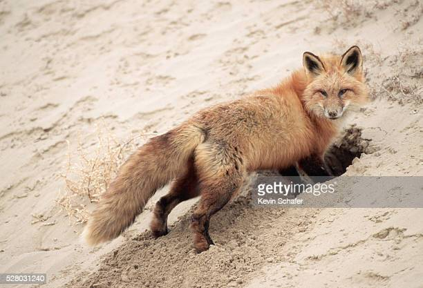 Red Fox Digging a Burrow