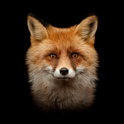 red fox face isolated on black 516954884