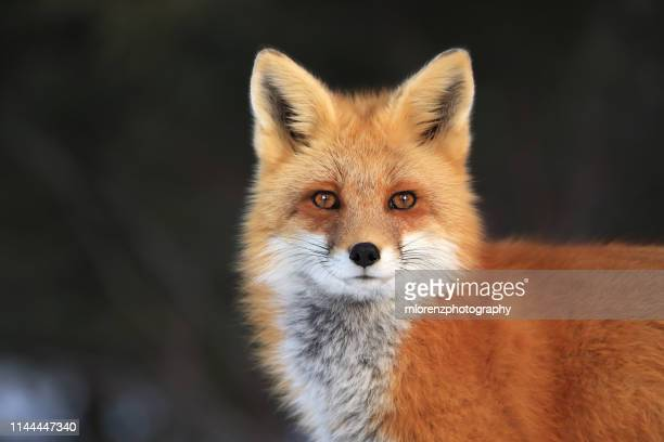 red fox face - fox stock pictures, royalty-free photos & images