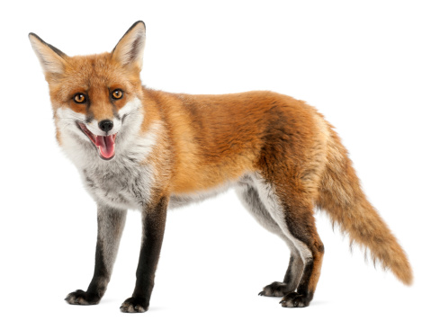 Red Fox, four years old, standing, white background. 123716912