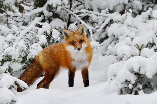 Red Fox in a winter setting 871800682