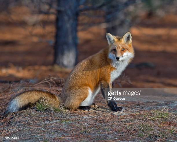 red fox in algonquin - red fox stock photos and pictures