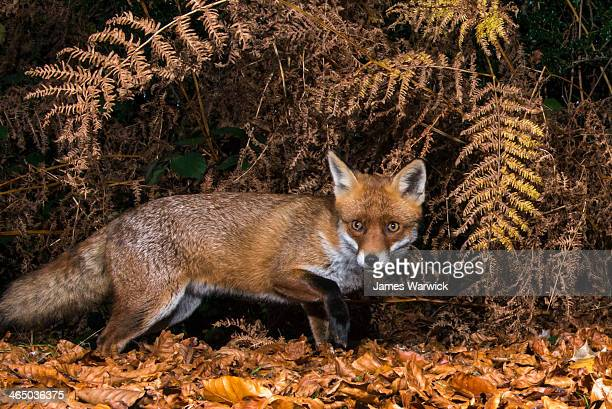 Red fox in autumnal bracken and beech leaves