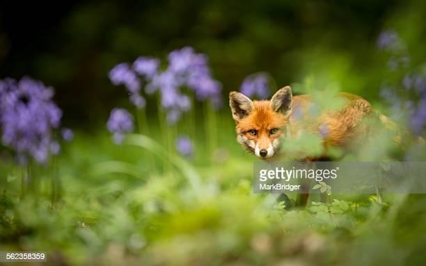 Red Fox in bluebells