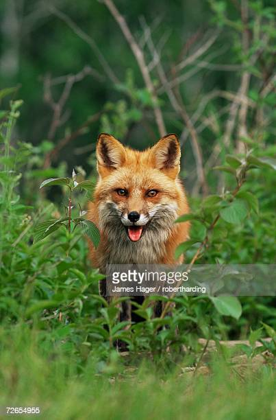 red fox (vulpes fulva), in captivity, sandstone, minnesota, united states of america, north america - lingering stock pictures, royalty-free photos & images
