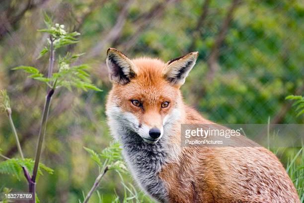 Red fox dans imprégnant de l'ambiance