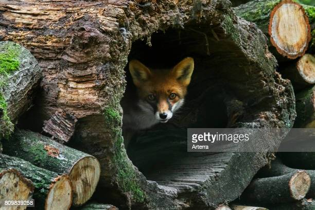 Red fox in hollow tree trunk in woodpile in forest