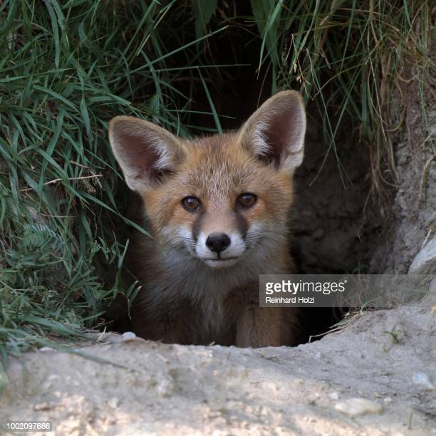 red fox (vulpes vulpes) in its burrow, thaur, tyrol, austria - traditionally austrian stock pictures, royalty-free photos & images