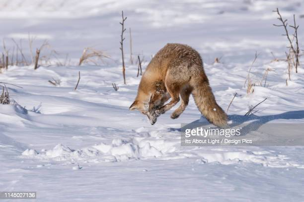 red fox (vulpes vulpes) in mid-air jumping over the snow - volpe rossa foto e immagini stock