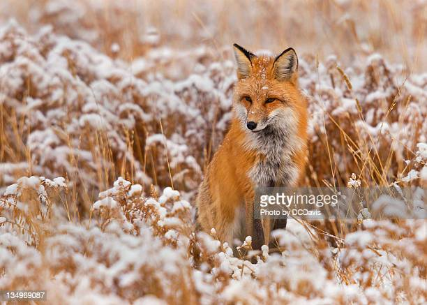red fox in snow field - red fox stock photos and pictures