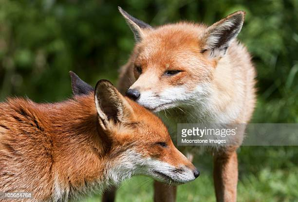 Red Fox in Surrey, South East England