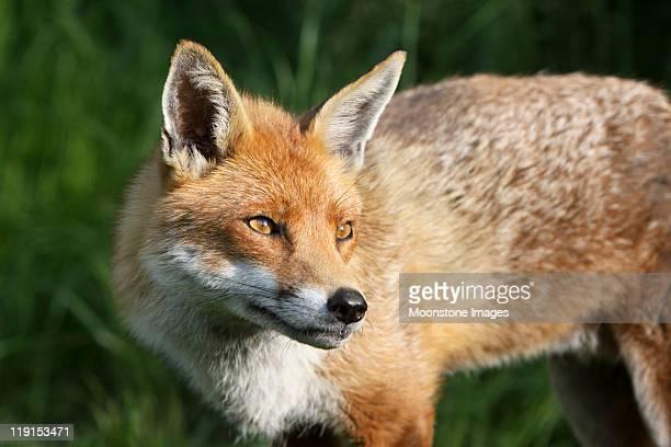 レッドフォックスのサリー、south east 英国 - named animal ストックフォトと画像