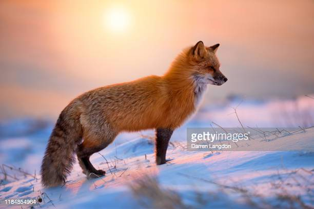 red fox in the morning sun - fox stock pictures, royalty-free photos & images