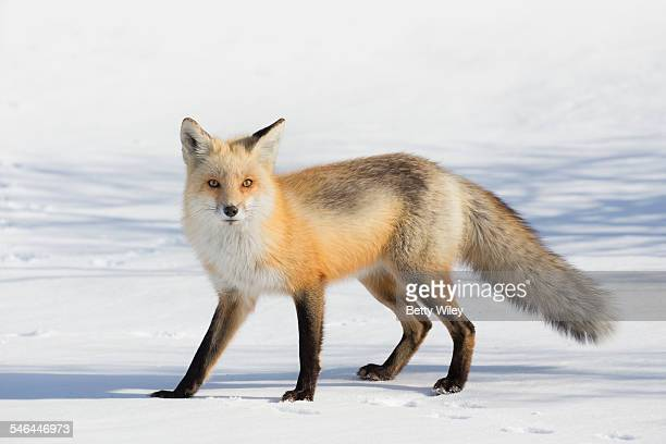 red fox in the snow - red fox stock photos and pictures