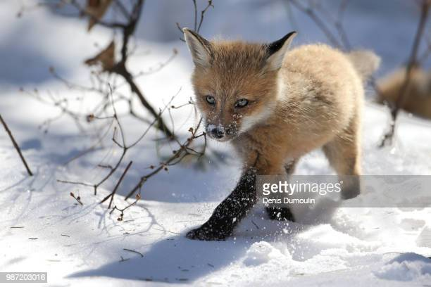 a red fox in the snow. - jeune animal photos et images de collection
