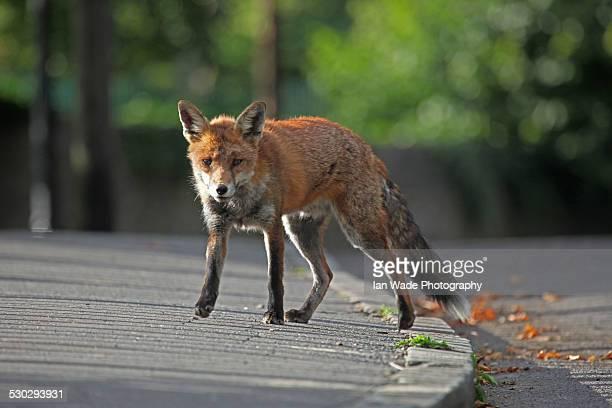 Red Fox (Vulpes vulpes) in Urban environment in Br