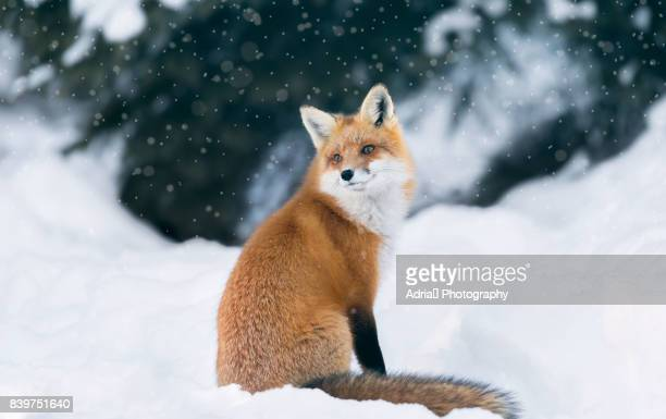 red fox in winter forest - wild dog stock pictures, royalty-free photos & images