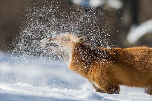 red fox in winter 1091796746