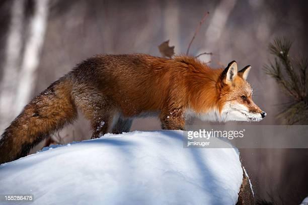 Red fox in winter snow.