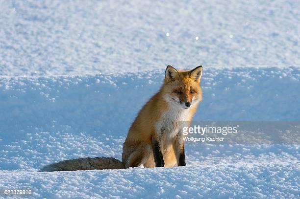 A red fox is sitting on snow in the winter in Abashiri Shiretoko National Park Shiretoko Peninsula on Hokkaido Island Japan