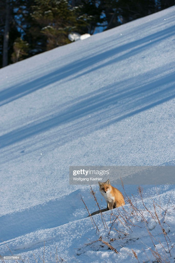 A red fox (Vulpes vulpes) is sitting on snow in the winter... : News Photo