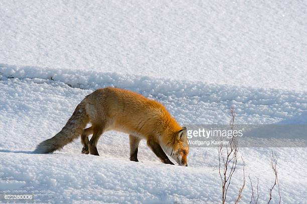 A red fox is sniffing the snow in the winter in Abashiri Shiretoko National Park Shiretoko Peninsula on Hokkaido Island Japan