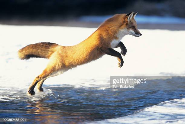 Red fox (Vulpes vulpes) jumping across creek, Canada