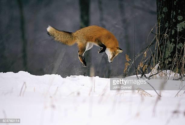 red fox jumping in the snow - volpe rossa foto e immagini stock