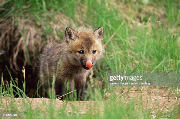 red fox kit (vulpes fulva), 47 days old, in captivity, sandstone, minnesota, united states of america, north america - lingering stock pictures, royalty-free photos & images