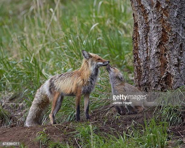 Red fox (Vulpes vulpes) (Vulpes fulva) kit licking its fathers mouth, Yellowstone National Park, Wyoming, United States of America, North America