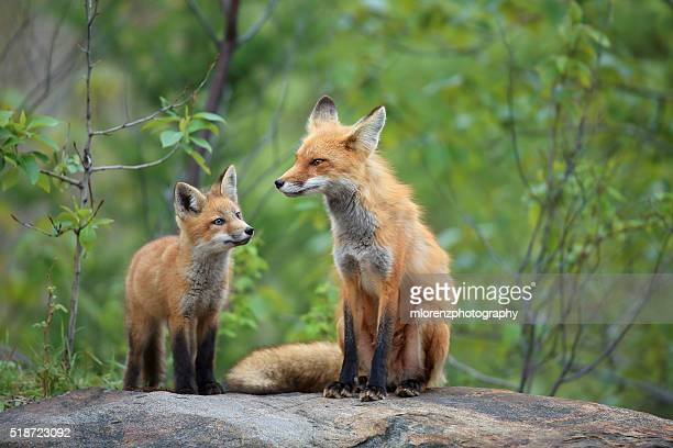 red fox & kit - red fox stock photos and pictures