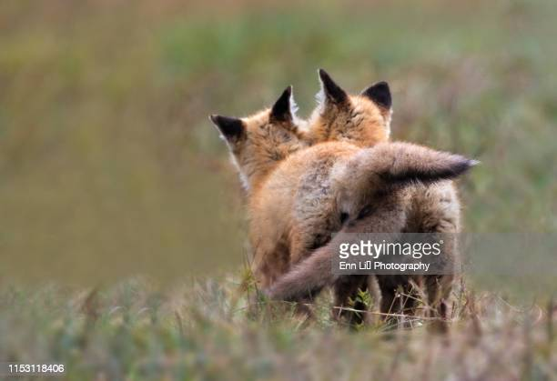 red fox kits - animal stock pictures, royalty-free photos & images