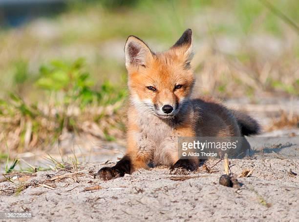 Red Fox Kitten