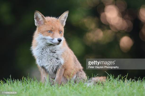 red fox landscape - alternative pose stock pictures, royalty-free photos & images