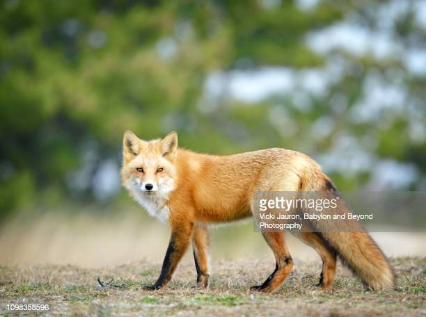 red fox looking at camera with beautiful winter coat at fire island national seashore - volpe rossa foto e immagini stock