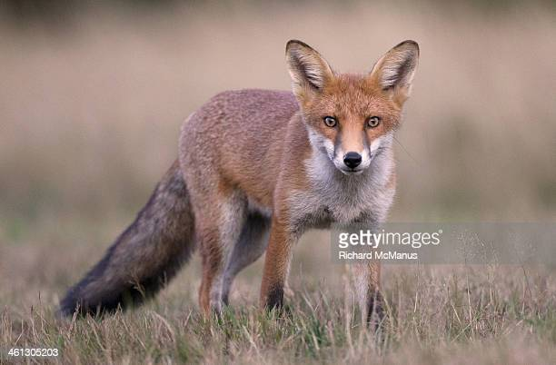 red fox looking intensely ahead - volpe rossa foto e immagini stock