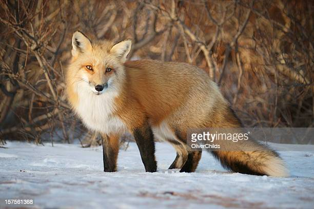 Red Fox looking towards the camera.