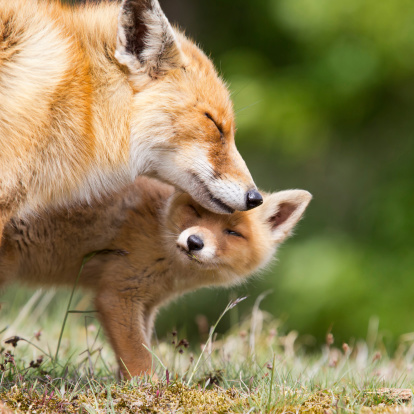 Red Fox Mother and a Cub 178421208