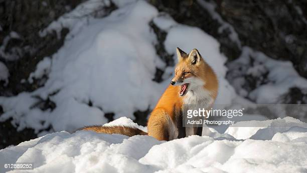Red fox mouth open profile
