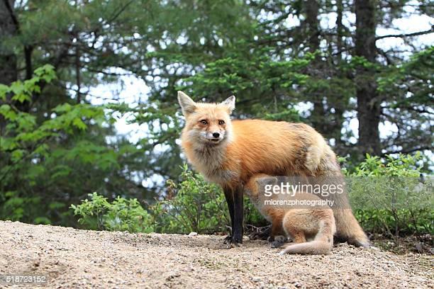 red fox nursing - mammifero foto e immagini stock