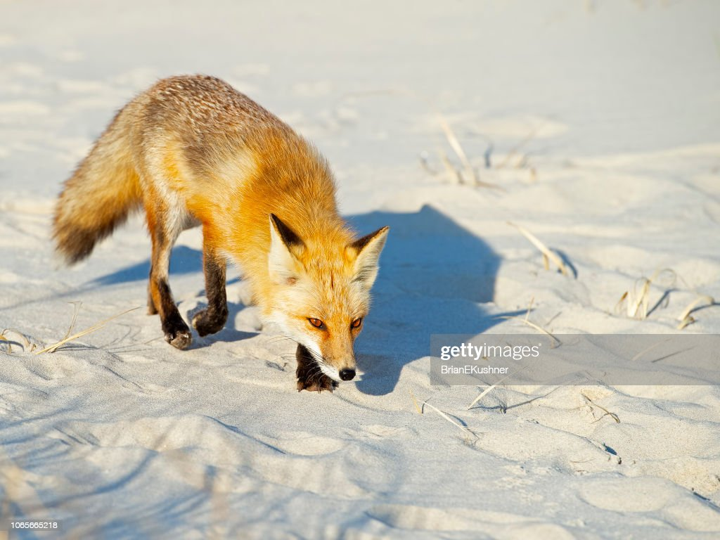 Red Fox on Beach : Stock Photo