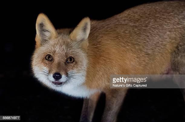 Red Fox on Black