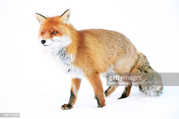 Red Fox On Deep Snow