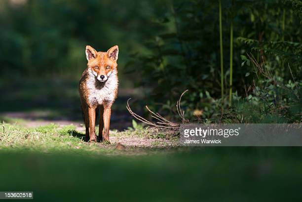 red fox on forest track - red fox stock pictures, royalty-free photos & images
