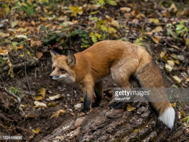 red fox on log looking intently in forest side view - fox stock pictures, royalty-free photos & images